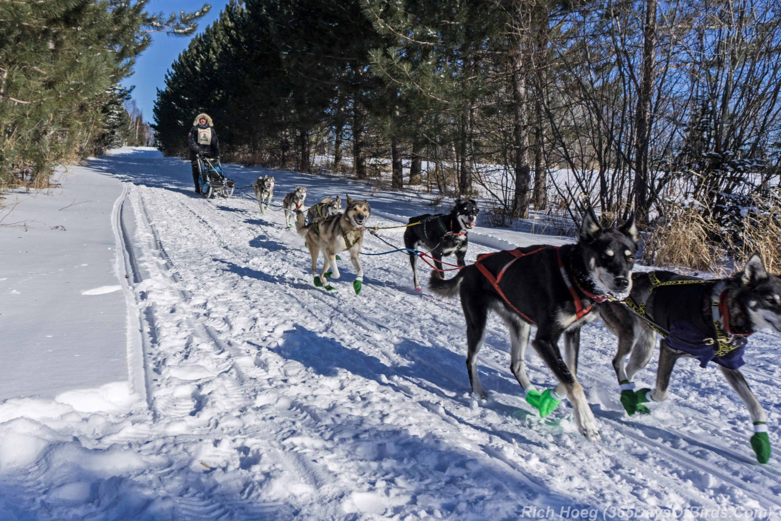 How To Put Together A Dog Sled Team